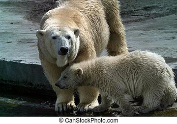 Polar bears - Illustration for magazine about animals