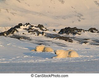 Polar bears lying on the snow