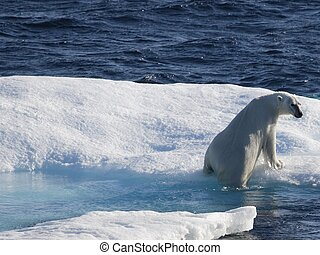Polar bears on ice floe in Nunavut (canadian arctic sea)