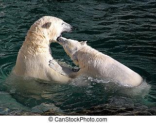 Polar bears playing and fighting
