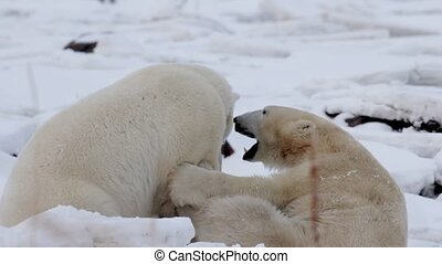 polar bears playing and sparring in the snow
