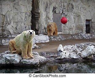 Polar bears - Two polar bears in captivity at a zoo