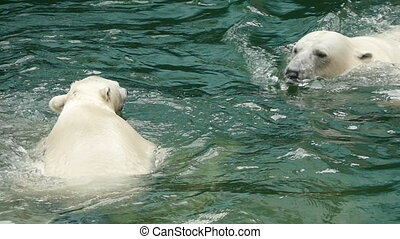 Polar bears swims and dives - Polar bears swimming at the...