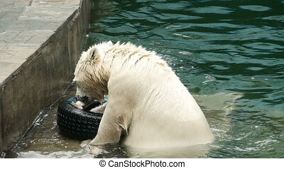 Polar bears swims and dives - Polar bears swimming at the...