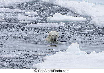 Polar bear's (Ursus maritimus) swimm in Arctic sea close up