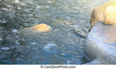 Polar bears. - Two polar bears in ZOO.