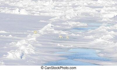 Polar bears walking in an arctic. - Polar bears, mother with...
