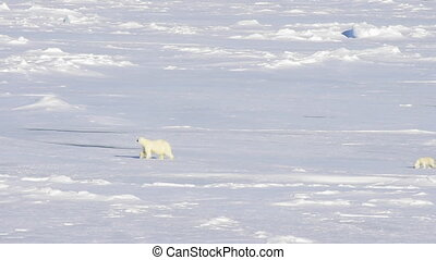 Polar bears walking in an arctic.