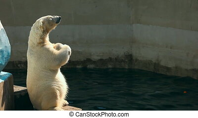 Polar beer. - Polar Bear Ice Cream begging for zoo visitors