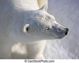 polar björn, in, otta, lätt