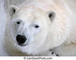 polar björn, klar, för, a, lugg, stående