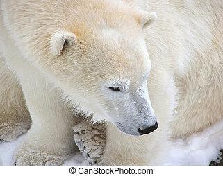 polar björn, närbild