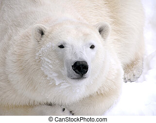 polar björn, nedledningen