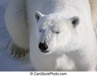 polar björn, vila, peacefully, hos, gryning