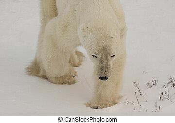 polar, bytte, bjørn, stalking