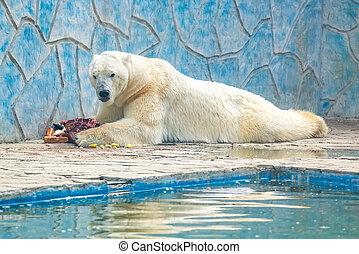 polar, fleisch, ißt, bär, ursus, gefangenschaft, maritimus, ...