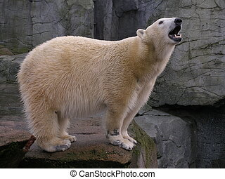 polar, gähnen, bär