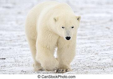 polar, gå, bjørn, tundra.