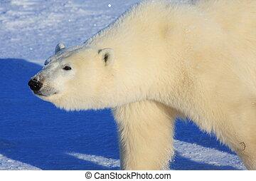 polar, gehen, arktisch, bär