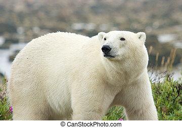 polar, iagttag, bjørn