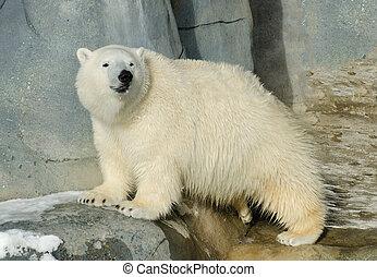 polar, jovem, urso