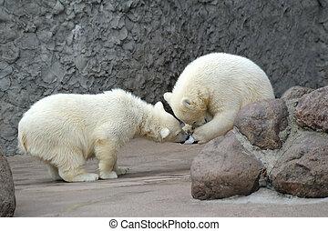 polar, juego, osos, poco, dos, futbol