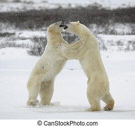polar, kämpfen, bears.