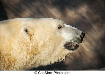 polar, kopf, -, ursus, bär, maritimus