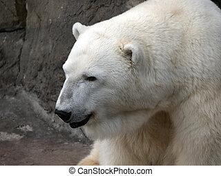 polar, maritimus, tag, ursus, sonnig, bär