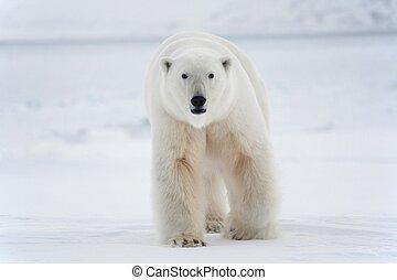 polar, national, bär, park, svalbard