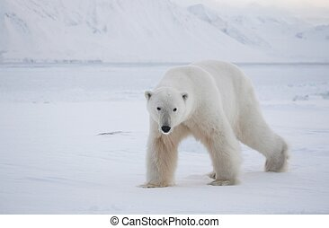 polar, natural, urso, habitat