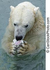 polar, nydelse, bjørn