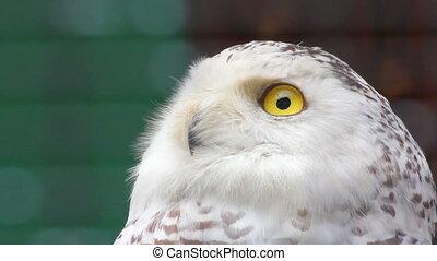 polar owl looking