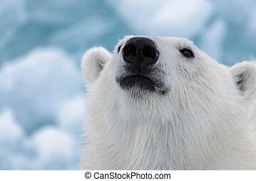 polar, schließen, (ursus, baissespekulant, maritimus), auf, ...