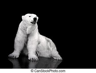 polar, sentando, caçador, -, urso, branca