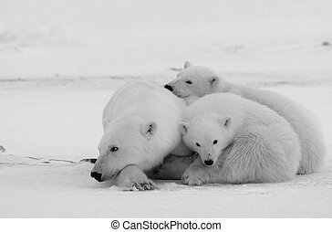 Polar she-bear with cubs. The polar she-bear with two kids...