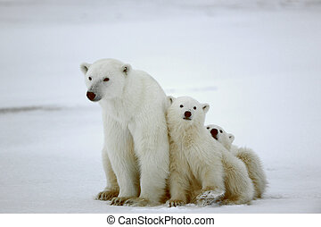 Polar she-bear with cubs. The polar she-bear with two kids ...