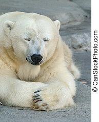 polar, sonolento, urso
