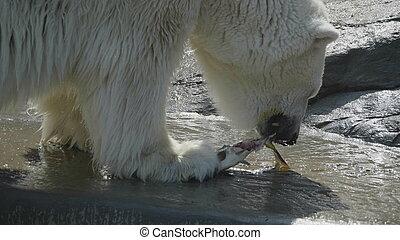 polar, tag, ursus, bär, sonnig, maritimus