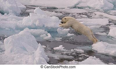 polar, unge, bjørn