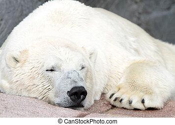 polar, ), (, ursus, bär, maritimus