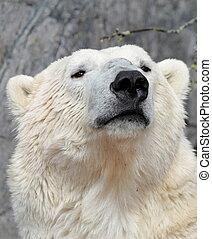 polar, ), (, ursus, bär, portrait., maritimus