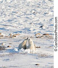 polar, weibliche , junge, bär, nursng