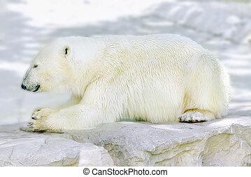 Polar white bear in his natural habitat. - Old polar white...