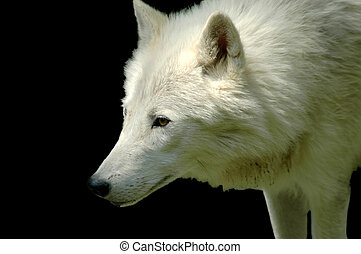 Polar wolf (Canis lupus arctos) - Head of a white wolf...