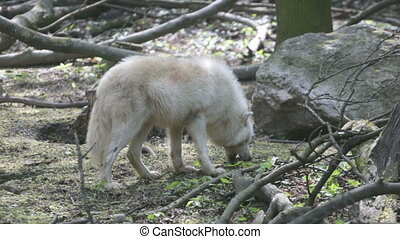 Polar wolf in the natural habitat - White polar wolf eats...