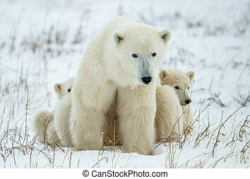 polar, zwei, bär, snow., she-bear, junge, cubs., klein