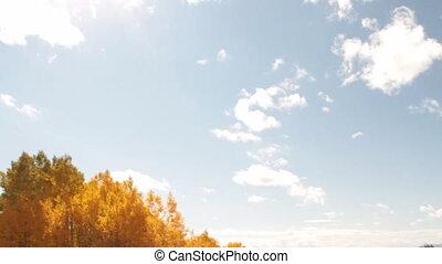 pole, żółty, osika, trawiasty, drzewa