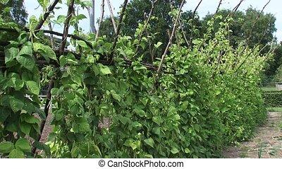 Pole beans, beanstalks growing in vegetable garden