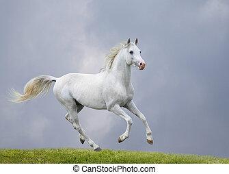 pole, biały koń